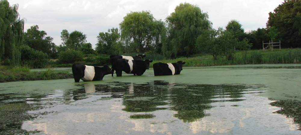 four black cows with white middles standing in a pond up to their bellies cooling off in summer