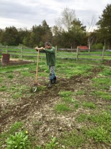 farmer weeding vegetable garden with a weeder on wheels
