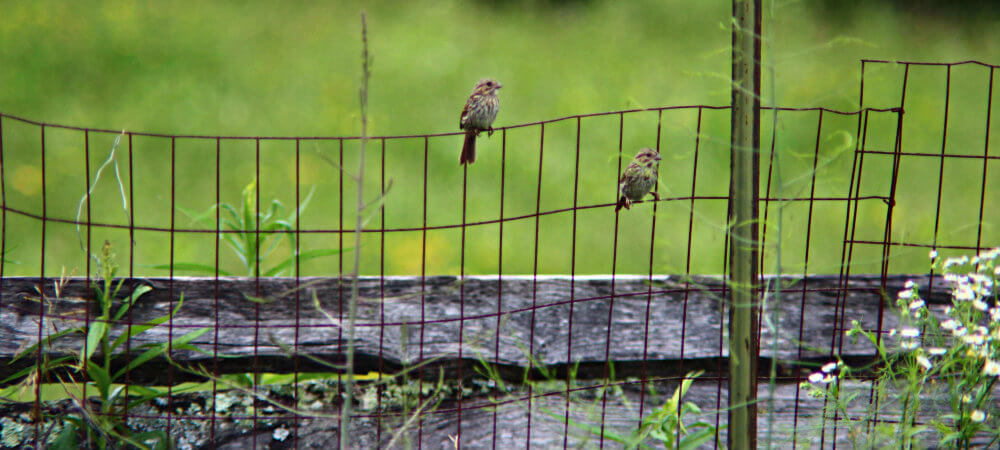 two sparrows sitting on an old farm wire fence
