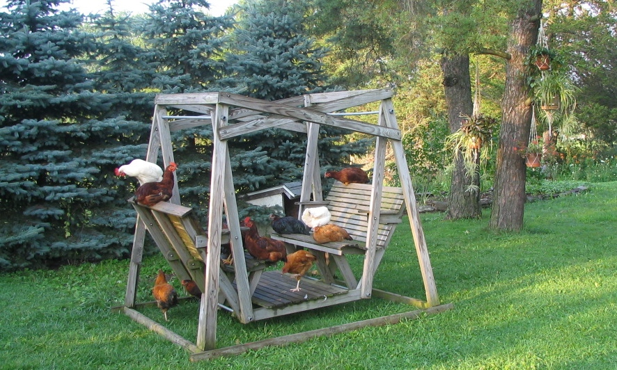 flock of chickens enjoying a wooden 2 seater swing