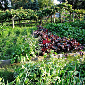 raised beds in garden filled with green and deep red lettuces