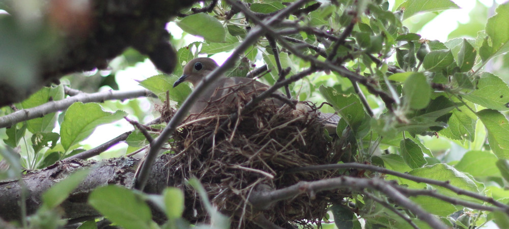 Mother bird sitting on her nest in a green leafy tree in springtime