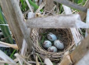 Close up of four blue and brown speckled eggs laying in a nest among branches and leaves.